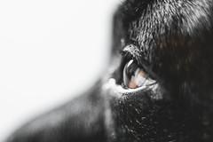 Brown Eye. (Joe Effendi) Tags: dog pet color macro eye animal closeup fuji dof takumar depthoffield m42 manual 2016 effendi vintagelens supertakumar55mmf18 fujifilmxe1