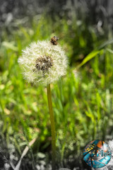 Dandy Dandelion [Field Trip] (Kodiak Media Photography) Tags: photography final yosemite assignments cubist