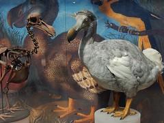 The Dodo Bird (mikecogh) Tags: painting skeleton oxford dodo extinct chunky pittriversmuseum