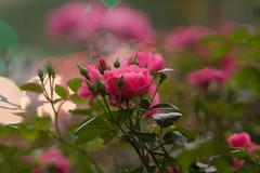 IMG_9999 (::nicolas ferrand simonnot::) Tags: pink red paris flower color green fleur field rose vintage plante de lens prime bokeh mount mc contax manual extérieur yashica depth f28 champ | 200mm soligor 2016 profondeur ƒ28 teleauto