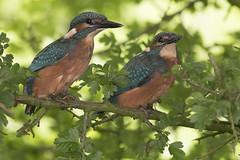 Jonge IJsvogels net uit het nest (zoom inn) Tags: kingfisher juvenile jong juveniel
