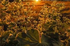 (koeleur) Tags: sunrise canon mark nederland ii dew limburg kerkrade zonsopkomst g1x