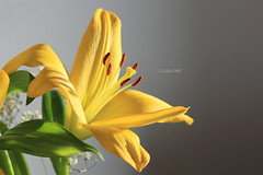 Yellow Lily (Shiroko Daleko) Tags: flower color macro yellow studio lily wishes 100macro canon60d