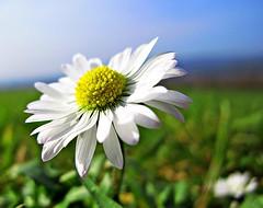 Daisy (the mr gnu) Tags: park flower macro wales canon south daisy g12 neath gnoll poweshot blinkagain themrgnu