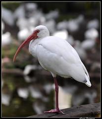 White Ibis (dralun10) Tags: ibis whiteibis floridaeverglades mygearandmepremium peregrino27life allofnatureswildlifelevel1 allofnatureswildlifelevel2