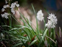 White Narcissus (kasa51) Tags: white plant flower digital lumix blossom panasonic f18 olympuspen 45mm gf1 白水仙 mzuiko