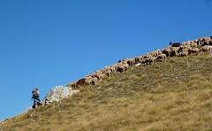 la diagonale du berger (b.four) Tags: sheep shepherd mouton larche dda berger alpesdehauteprovence pecora coth supershot abigfave diamondclassphotographer flickrdiamond citrit cherryontopphotography rubyphotographer damniwish mygearandme