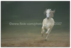 I am Magnificent (pongo 2007) Tags: horse white portugal caballo cheval europe action cavallo cavalo pferd gallop paard lusitano iberian ol ceffyl portugus yearofthehorse pongo2007