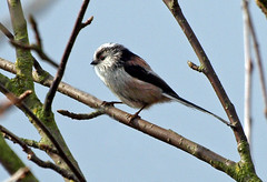 Long Tailed Tit (Mr Grimesdale) Tags: birds mr steve wallace longtailedtit gardenbirds britishbirds grimesdale