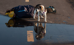 Face down...puddle style (cblorenaturefotos) Tags: beagle water puddle 365days facedowntuesday hfdt