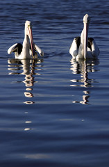 Pelican Reflections || THE ENTRANCE (rhyspope) Tags: ocean sea lake reflection bird eye nature wet water creek swim canon river bill pond marine afternoon wing beak feather australia lagoon pelican aussie float centralcoast avian 500d tuggerah theentrance rhyspope