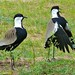 Spur-winged Lapwings (Vanellus spinosus)