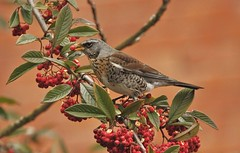 Fieldfare feast (Christine Winston) Tags: bird berries turduspilaris thrush fieldfare migrant scandanavia
