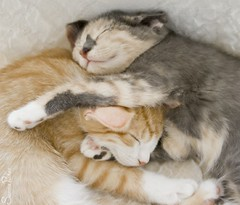 20110902_25545b (Fantasyfan.) Tags: sleeping pets cute animals topv111 furry topv333 warm fluffy kittens valentine kind together tired friendly fantasyfanin pelko synti highqualityanimals siirretty