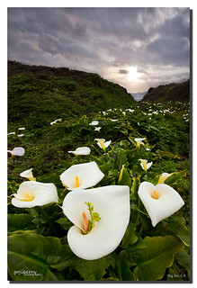 Valentine's Calla Lilies, Big Sur, CA