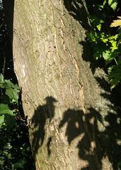 Silber-Ahorn_Stamm_CIMG1519 (schaefer_rudolf) Tags: natur pflanze acer baum ahorn laubbaum ahorne ahorngewchse aceraceae acer saccharinum