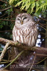 Resting Barred Owl (Free Roaming Photography) Tags: sleeping canada tree bird animal relax sleep britishcolumbia wildlife owl perch northamerica rest perched predator ladner birdofprey barredowl alaksen alaksennationalwildlifearea