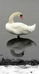 Swan posing (Andyfrog321) Tags: white art andy water pose swan baker specanimal reflectionlakedistrict