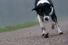 14/52 STICK!!!1!! (Bas Bloemsaat) Tags: mac collie border bordercollie