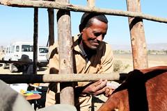 Artificial Insemination technician injectes a cow with high quality semen (International Livestock Research Institute) Tags: cattle ethiopia ipms ilri artificialinsemination dairying crp2 debrezeitethiopia animalbreeding
