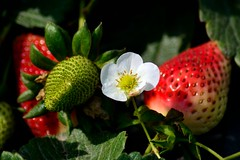 198 - Strawberry plant (ArvinderSP) Tags: red flower green fruit ngc strawberries fresh seeds strawberryplant freshstrawberries