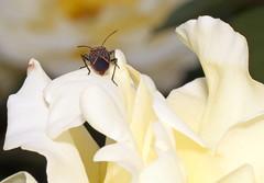 Rose with Bug in International Rose Test Garden (sandy richard) Tags: usa gardens oregon portland unitedstates sandyrichard sandrarichard