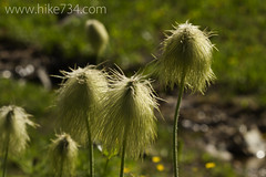 """Western Anemone • <a style=""""font-size:0.8em;"""" href=""""http://www.flickr.com/photos/63501323@N07/6921318769/"""" target=""""_blank"""">View on Flickr</a>"""