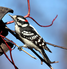 Downy woodpecker (Travels with Kathleen) Tags: bird birds centralpark woodpeckers downywoodpeckers peregrino27life