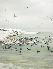 (Ole Lukoie) Tags: winter sea cold ice nature birds caspian kazakhstan seagals        aktau