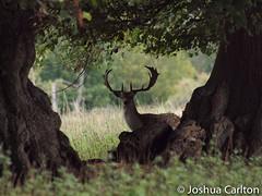 Peek-a-Boo! (Josh Carlton) Tags: show park santa wild tree grass nose sleep wildlife spot deer hide ear rest fallowdeer horn antler liedown