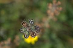 policromie (voyager7000) Tags: sardegna macro sardinia natura fiori prato insetti nuxis voyager7000
