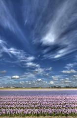 Hyacinthen (Jan Kranendonk) Tags: flowers holland bloemen hyacinths bollenvelden hyacinthen