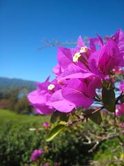 Bright Colors! (Hannebeth) Tags: hawaii kauai hanaleibay flowersbougainvillea