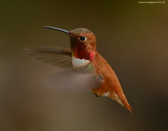 Male Rufous Hummingibrd (Selasphorus rufus) (Photography Through Tania's Eyes) Tags: canada male bird nature animal fauna photography photo bill pom wings nikon photographer hummingbird bc image britishcolumbia okanagan wildlife feathers photograph okanaganvalley rufoushummingbird selasphorusrufus peachland copyrightimage nikond7000 taniasimpso malerufoushummingibrd