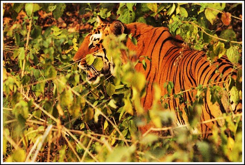 Royal Bengal Tiger....in the wild!