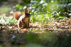 Un cureuil, Red Squirrel (Zed The Dragon) Tags: wild animal french geotagged effects photography soleil photo squirrel squirrels flickr minolta photos sony apo full f45 frame fullframe alpha antony animaux foret parc postproduction spec franais sal zed 2012 francais sceaux lightroom cureuil sauvage effets 200mm ecureuil parcdesceaux iso500 24x36 a850 0004sec sonyalpha hpexif parcsceaux dslra850 alpha850 zedthedragon mosaique2012a