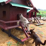 "Burmese Cats <a style=""margin-left:10px; font-size:0.8em;"" href=""http://www.flickr.com/photos/14315427@N00/7071203549/"" target=""_blank"">@flickr</a>"
