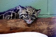 Clouded Leopard Cub. (kay.enn.kay.) Tags: cats zoo bigcats cloudedleopard pointdefiancezoo ptdefiancezoo cloudedleopardcub