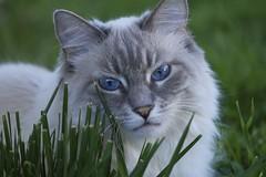 Springtime Bianca (joecrowaz) Tags: city trees wild arizona cats pets color nature phoenix grass animals canon raw shade manual springtime 550d t2i ef70200mmf4lisusm