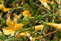 Mimulus aurantiacus (Weeding Wild Suburbia) Tags: park gardens places publicgardens spnp