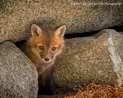 Red Fox Kit Peek a Boo (Jericho Hills Photography) Tags: red wild baby cute nature beautiful animal horizontal mammal outdoors furry sweet wildlife exploring small den young adorable newengland canine nh fox kits wildanimal environment hunter kit curious pup predator youngster alert carnivore naturephotography redfox vulpesvulpes predatory babyanimal wildlifephotography vulpes foxkit wildlifeanimal youngredfox foxkits youngfox johnvose redfoxbaby jerichohillsphotography