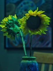 Blue sunshine (wendysvalue6) Tags: flowers blue nikon nikond40 janpolenlarginglens janpollens