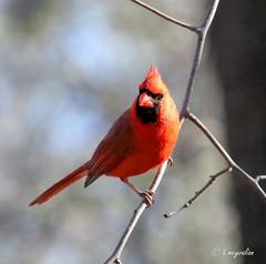 Cardinalis cardinalis (hmeyvalian) Tags: canada canon eos 7d tamron songbird markii cardinaliscardinalis redbird northerncardinal centredelanature cardinalidae f3563 cardinalrouge lavalqubec cardinalisvirginianus cardinalerosso 16300mm