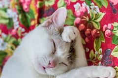 Master Miao's Grooming  (Sharleen Chao) Tags: pet macro home face animal cat canon feline interior taiwan indoor noflash 100mm grooming taipei  nene domesticcat        domesticshorthair  shorthaircat   5dmarkiii