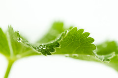 Just leaves (hjuengst) Tags: white plant macro green leaves leaf bokeh pflanze raindrops makroaufnahme mm grn waterdrops makro blatt hmm wassertropfen regentropfen weis unschrfe justleaves macromondays