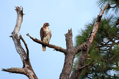 Red-Tailed Hawk (Bill McBride Photography) Tags: redtailedhawk redtailed hawk buteojamaicensis wickham park bird avian nature birdofprey perched pine tree spring may 2016 wildlife melbourne fl florida canon eos 70d ef100400l raptor