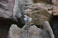 Ringtail lemur (citizen for boysenberry jam) Tags: wild animals zoo texas waco lemur ringtail waza aza cameronparkzoo ringtaillemur