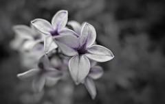 Highdown Gardens (hall1705) Tags: plant gardens blackwhite depthoffield selectivecolour highdown p340