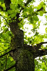 Looking at an oak tree (Raoul Pop) Tags: autumn tree green fall leaves season moss branches treetrunk bark romania ro twigs maramures somewherebetweenbaiamareand somewherebetweenbaiamareandsighetumarmatiei