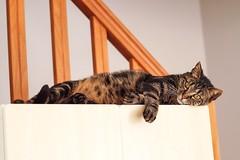 (LucieLune) Tags: home mannequin animal cat pose eyes chat interior yeux maison intérieur poils êtes